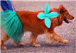 Dog Dressed up in Skirt and Flower