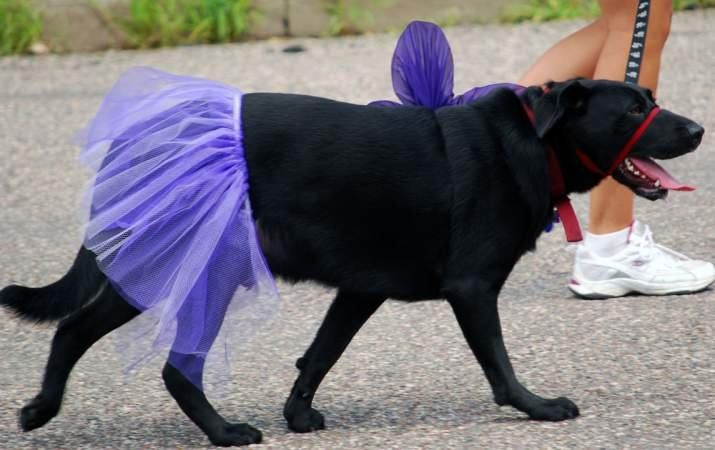 Black Dog Dressed up in Purple Skirt and Flower
